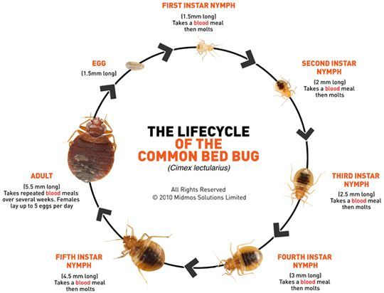 Image of the life cycle if the common bed bug - What to Do for Bed Bug Bites