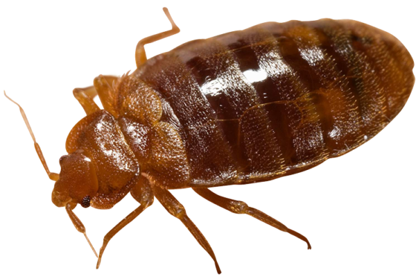 Image of A Bed Bug - Best Thing to Kill Bed Bugs