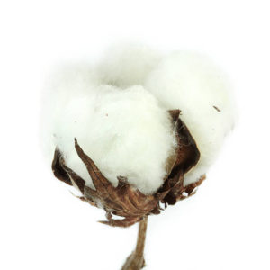 Cotton Boll - Best Egyptian Cotton Sheets