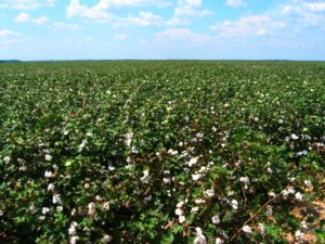 Cotton Field In Louisiana - Best Egyptian Cotton Sheets