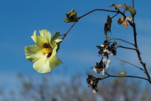 A Gossypium Barbadense Blossom - What is Pima Cotton