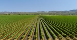 Image of an irrigated cotton field - What Is Supima Cotton