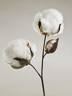 Cotton Bolls - What is Pima Cotton