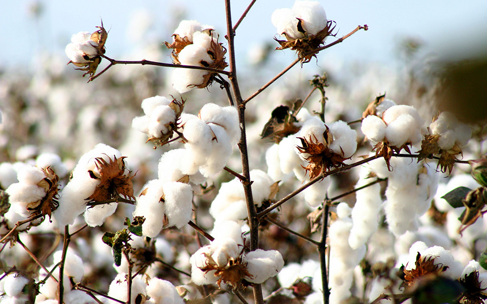 Image of Egyptian Cotton Field - Best Egyptian Cotton Sheets