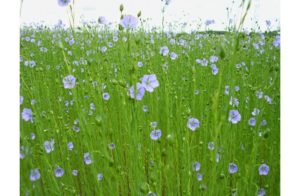 Image of Flax Plants- Affordable Linen Sheets